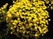 Продам черенок хризантемы оптом