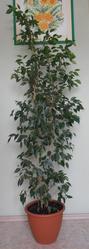 Цветок фикус Бенджамина зеленый