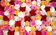 Продам оптом срез роз,  тюльпана,  герберы и др.