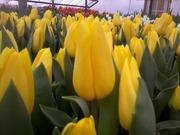 Тюльпаны оптом к 14 февроля и 8 марта 2015 донецк