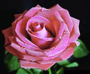 У нас стабильные, низкие цены на розы, гвоздики, альстромерии...